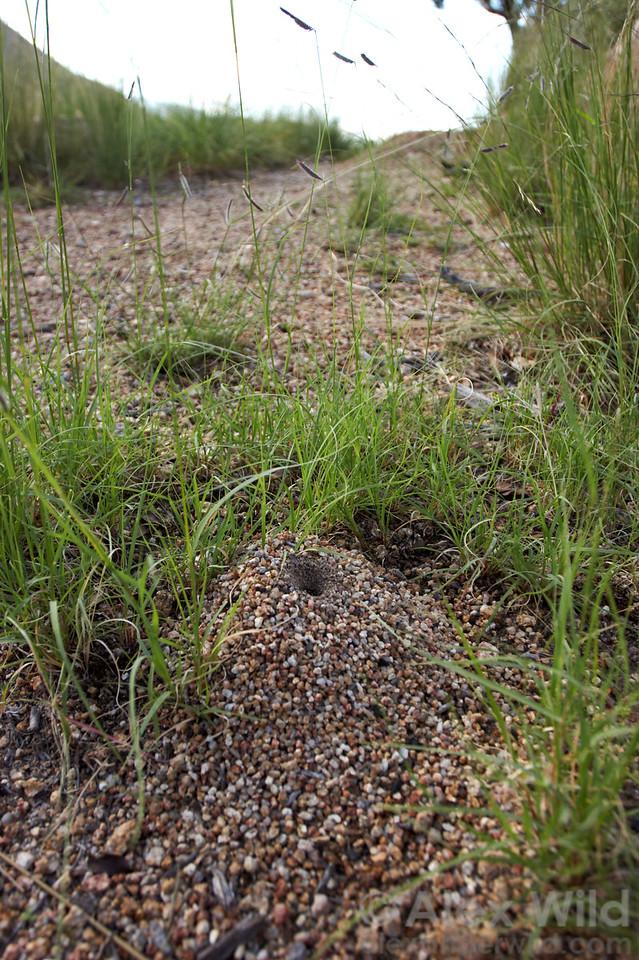 The distinctive nest entrance of the nocturnal honeypot ant Myrmecocystus mexicanus.  Huachuca mountains, Arizona, USA