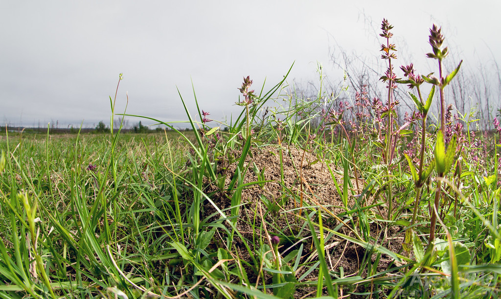 A nest of red imported fire ants (Solenopsis invicta).  Paynes Prairie Reserve, Florida, USA