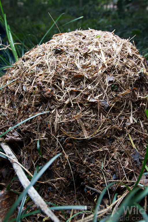 A distinctive thatch mound of Camponotus rufipes.  Viçosa, Minas Gerais, Brazil