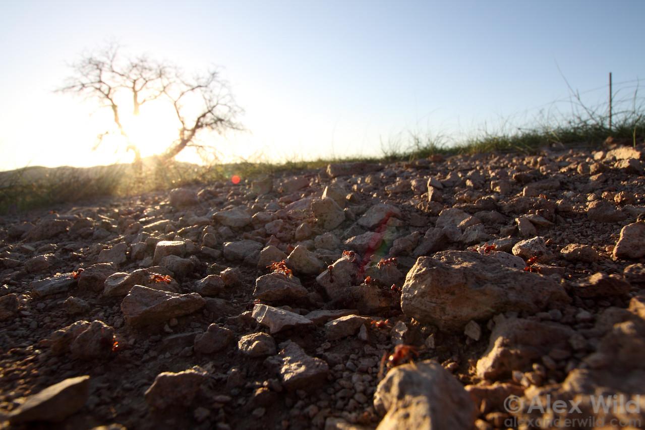 The desert sun sets over a nest of Pogonomyrmex barbatus harvester ants.  Sycamore Canyon, Arizona, USA