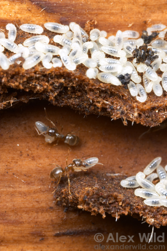 Lasius pallitarsis brood nest inside a log.  The galleries are constructed from carton, a wood pulp and fungal mix molded by the ants.  Sierra Nevada, California, USA