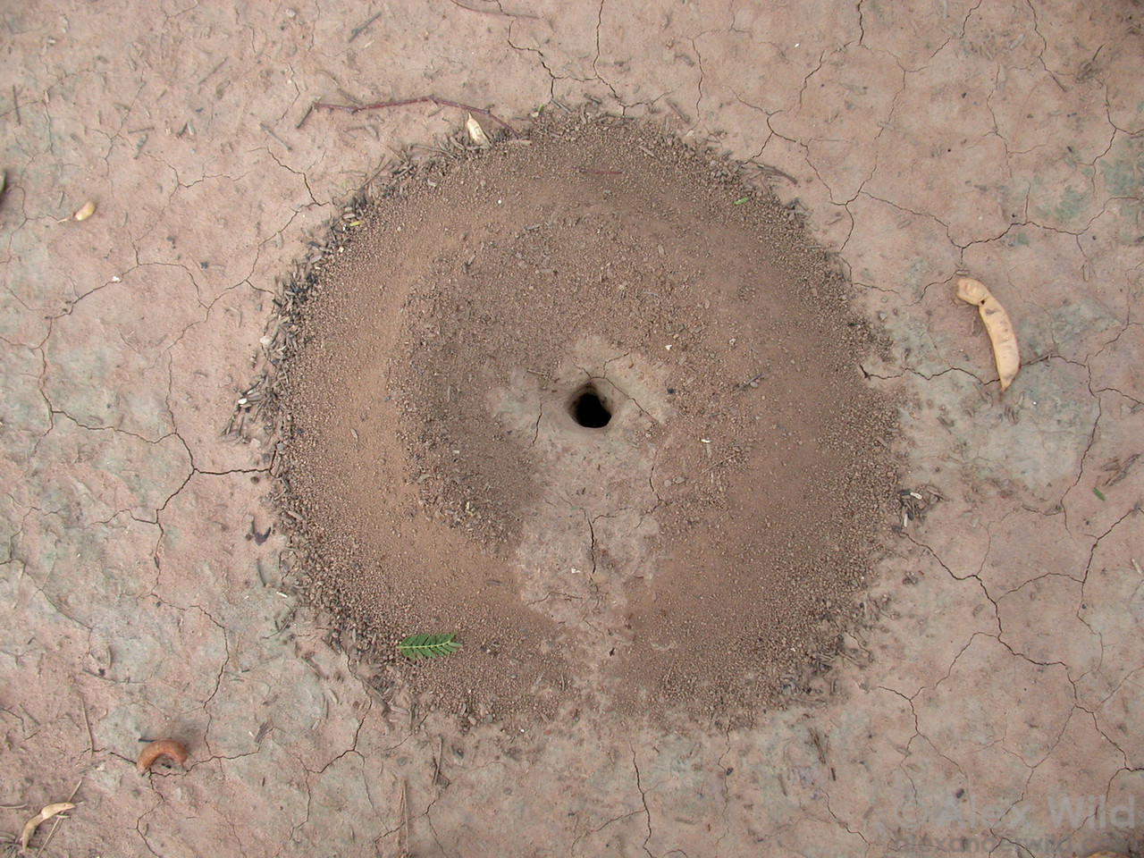 A nest of Pheidole in the dry chaco.  Mcal. Estigarribia, Boquerón, Paraguay