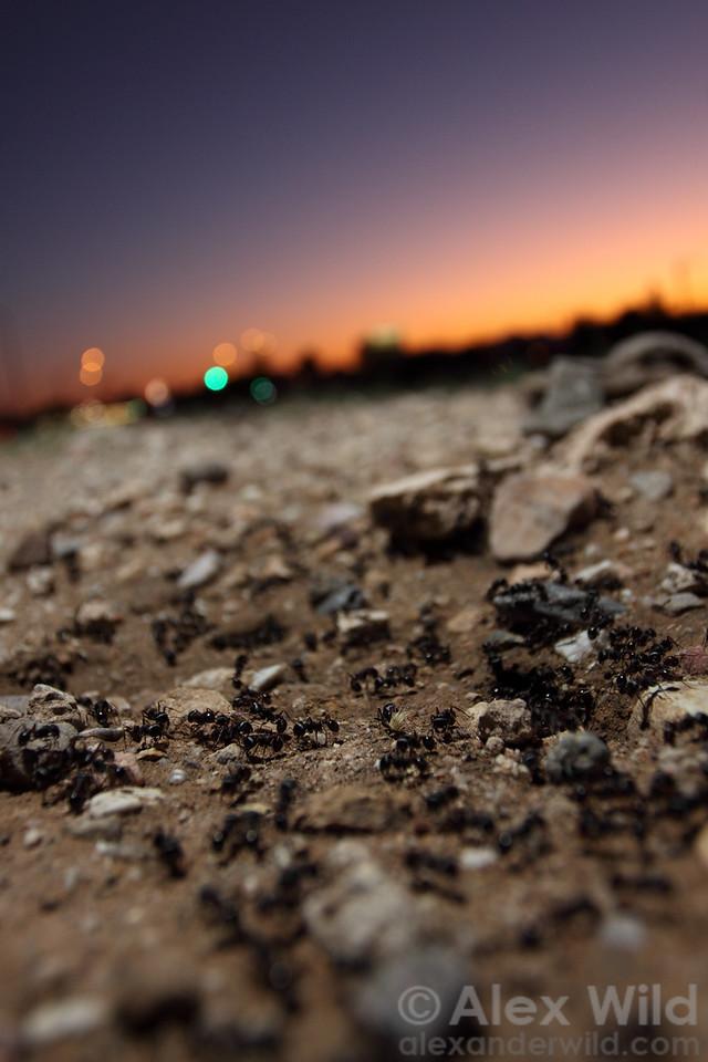A nest of harvester ants comes to life at dusk in urban Tucson.  Pogonomyrmex rugosus.  Tucson, Arizona, USA