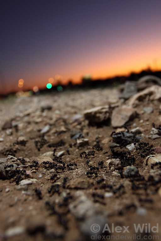 A nest of harvester ants comes to life at dusk in urban Tucson.  Pogonomyrmex rugosus.  Tucson, Arizona, USA
