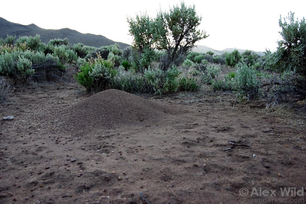 Western harvester ants (Pogonomyrmex occidentalis) make distinctive mound nests on the desert floor.   Hallelujah Junction, California, USA