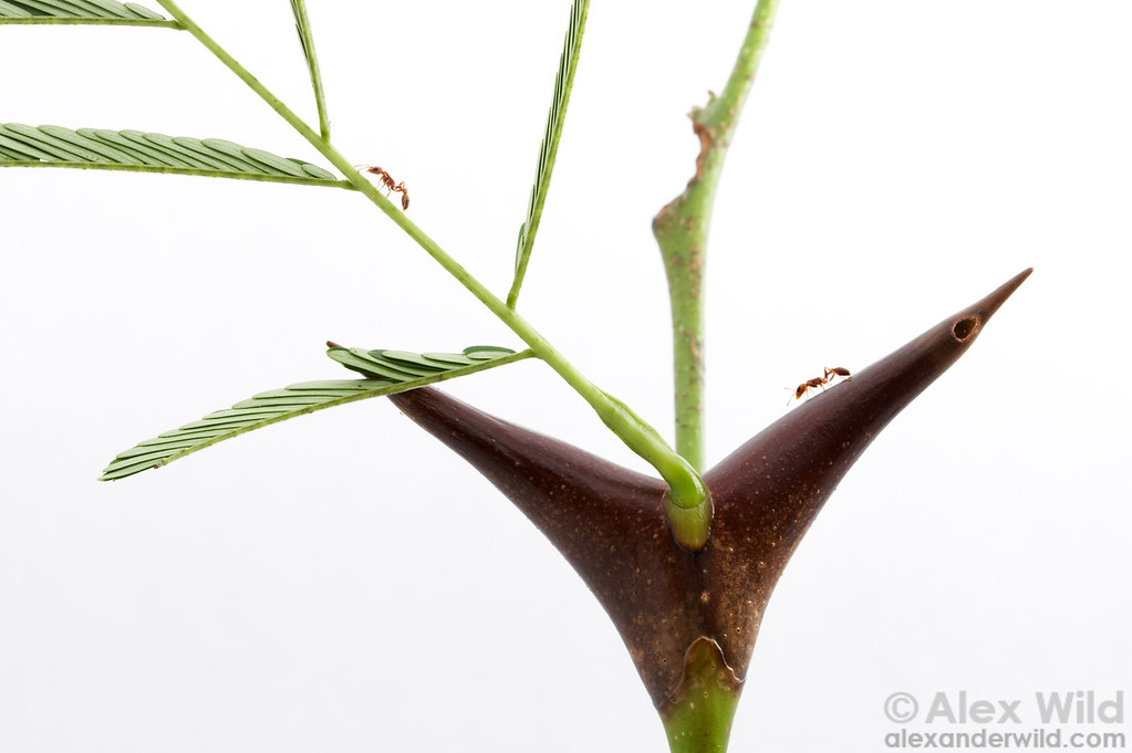 Portrait of a mutualism: a swollen-thorn Acacia with the ants that protect it.  The hundreds of thorns on a mature tree can house colonies of up to 20,000 ants.  Chiriqui, Panama