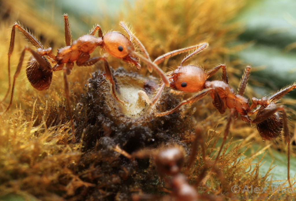 Pheidole minor workers gather nectar from an Inga leaf. The plant uses the nectary to attract ants that clean the plant of herbivores.  Maquipucuna reserve, Pichincha, Ecuador