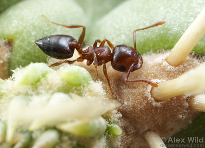 Crematogaster opuntiae gathering nectar from a cholla cactus.  Tucson, Arizona, USA