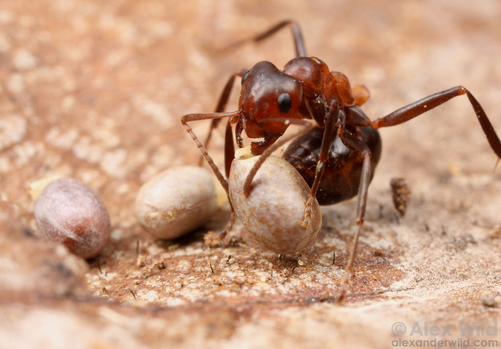 A number of plant species have come to depend on ants to disperse their seeds.  To entice the ants, the seeds have a tasty, lipid-rich structure called an elaiosome at one end, and the ants carry the seed along when then take the elaiosome back to their nest. Here, a Formica exsectoides mound ant has found the seeds of leafy spurge, an invasive pest plant whose spread might be facilitated by ants.  Wisconsin, USA