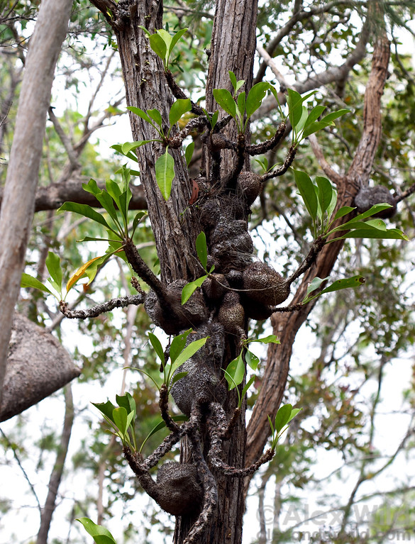 A cluster of epiphytic Myrmecodia ant-plants in an Australian woodland.  The swollen base of Myrmecodia is hollow, with an intricate gallery of chambers that house aggressive Philidris ants.  The ants defend the plant and provide the plant with nutrients.
