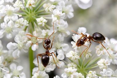 Prenolepis imparis gathering nectar.  Champaign, Illinois, USA