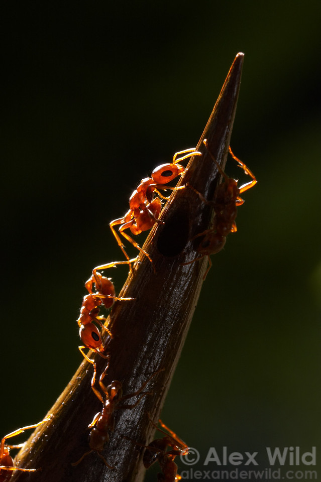 Pseudomyrmex spinicola acacia ants guarding a nest entrance.  This species has a painful sting and a much more aggressive temperment than most other Pseudomyrmex, an effective deterrent to large vertebrate herbivores.    Chiriqui, Panama