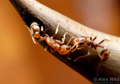 Friend or Foe? Two Pseudomyrmex spinicola acacia ant nestmates evaluate each other at the nest entrance.   Panama City, Panama