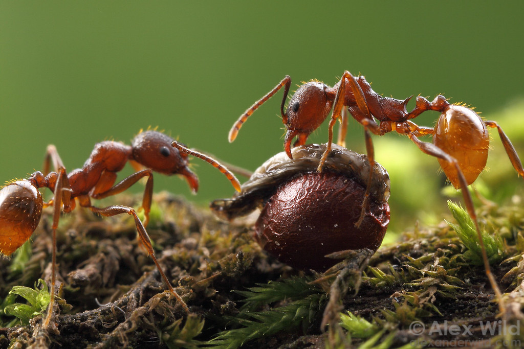 Some plants have come to rely so heavily on ants to spread their seeds about that they offer the insects a tasty treat in exchange for the dispersal service. Seeds of these species bear a lipid-filled structure called an elaiosome, whose sole function appears to be the attraction of ants.  Here, Aphaenogaster fulva disperse bloodroot (Sanguinaria canadensis) seeds.  Urbana, Illinois, USA