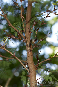 Swollen-thorn Acacia trees, native to Central America, are protected by fierce colonies of stinging ants.   Chiriqui, Panama