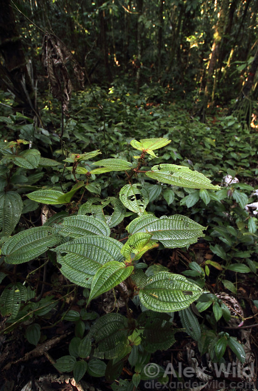 Clidemia bush growing in an Amazonian devil's garden. The garden is caused by symbiotic Myrmelachista ants that inject formic acid into the saplings of competing plants, killing them.