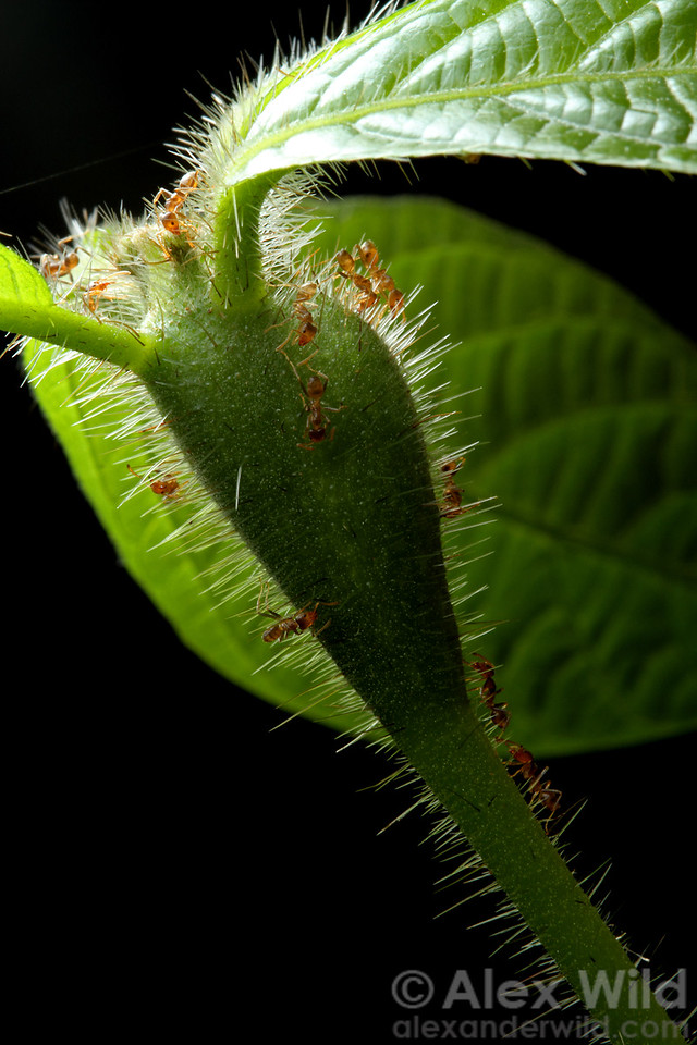 The swollen stem of a Cordia nodosa plant houses a symbiotic colony of Azteca ants. The ants protect the plant from herbivores in exchange for lodging.