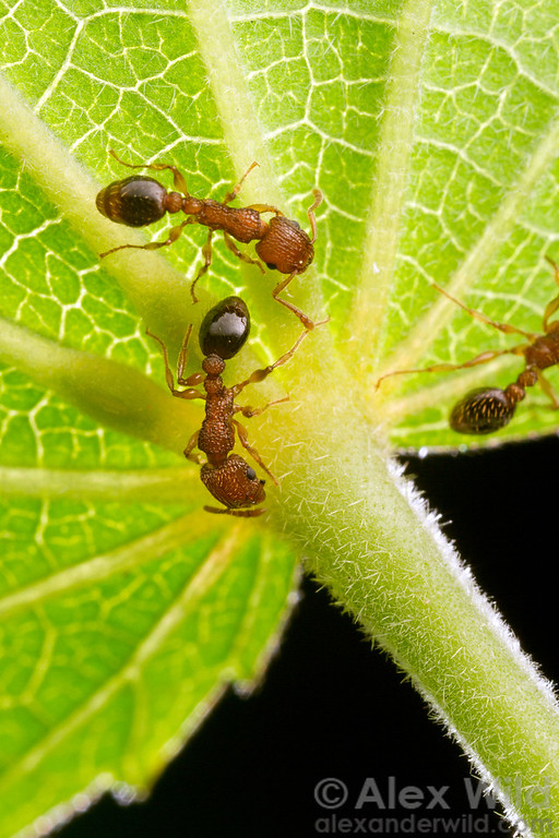 Tetramorium bicarinatum workers gather nectar from glands of an invasive mallow. Some plants use nectar to attract ants as a defense against herbivorous insects, as ants also eat insect eggs and caterpillars.  Orlando, Florida, USA