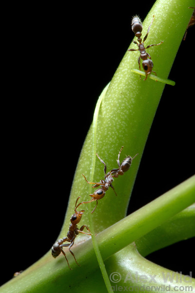 Pseudomyrmex peperi is an obligate Acacia inhabitant that zealously protects its host from intruding herbivores and aggressive vines. Here, workers cut a tendril that touched their tree. 
