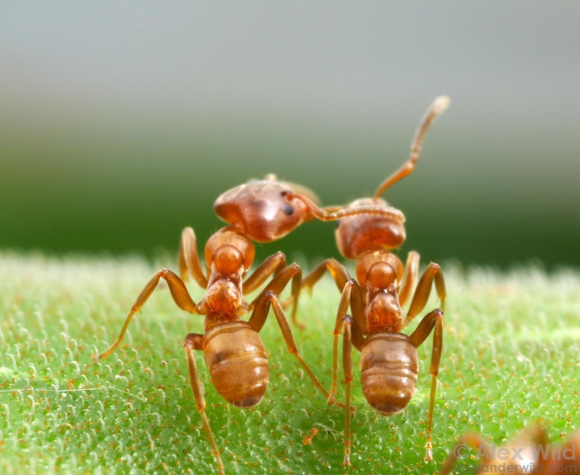 Azteca alfari Cecropia ants sharing a moment...  Gamboa, Panama