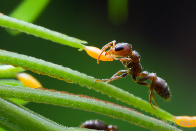 Pseudomyrmex peperi is an obligate Acacia inhabitant. Here, a worker gathers a lipid-rich Beltian body from a leaf tip. The plant feeds the ants in exchange for protection from herbivores and competing plants.