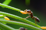 Pseudomyrmex peperi is an obligate Acacia inhabitant. Here, a worker gathers a lipid-rich Beltian body from a leaf tip. The plant feeds the ants in exchange for protection from herbivores an ...