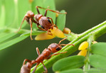 Pseudomyrmex spinicola workers harvest Beltian bodies on an Acacia tree. The tree and the ant are locked into relationship where the survival of both partners depends on the other.  The ants ...
