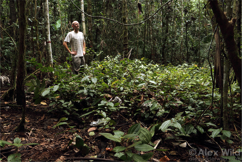 Alex Wild surveys a Devil's Garden of Tococa  plants.