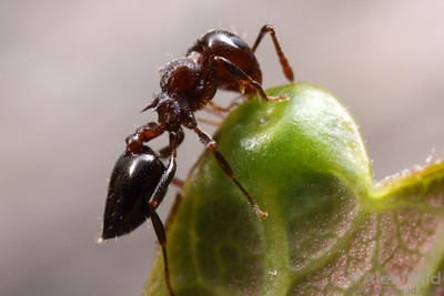 Some plant species attract ants with special nectar-producing glands.  It is thought that ants help protect the plant from herbivorous pest insects, so the arrangement is beneficial for both ants and plants.  Here, a Crematogaster cerasi forager feeds from a leaf nectary of an Ailanthus tree of paradise.  Champaign, Illinois, USA