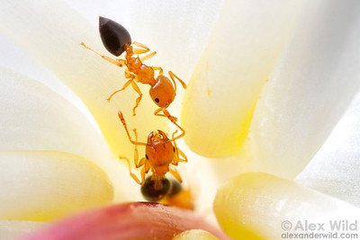 Crematogaster acrobat ant workers taking nectar from a lily. Ants are generally poor pollinators, so they are not the intended recipient of the nectar.  Cape Tribulation, Queensland, Australia