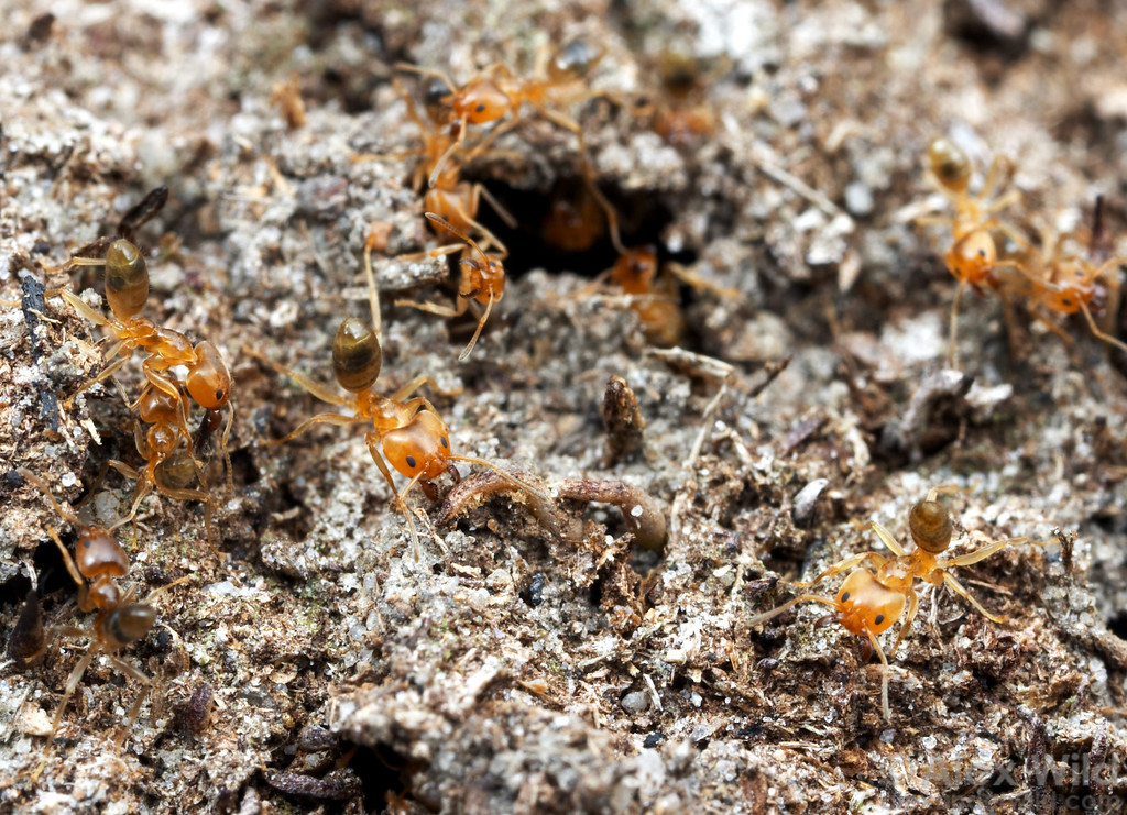 Philidris ants spill forth from a breach in their Myrmecodia host plant.