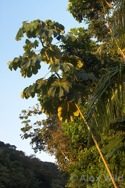 Cecropia trees are common along forest edges and gaps.  They are guarded by aggressive Azteca ants.  Gamboa, Panama
