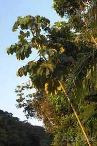 Azteca - Cecropia