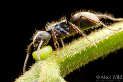 An Inga tree offers up nectar to a Dolichoderus bispinosus forager.   Armenia, Belize