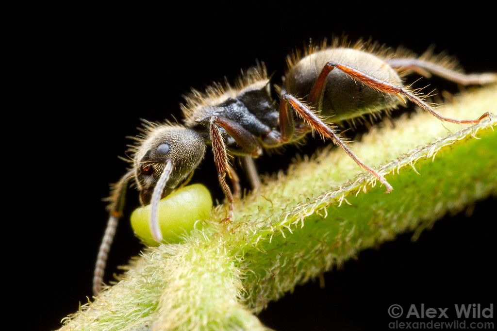 An Inga tree offers up nectar to a Dolichoderus bispinosus forager. 