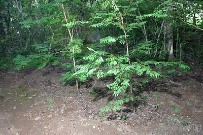 Swollen-thorn Acacia trees in the undergrowth of a Panamanian forest.  The ground beneath the trees is maintained free of weeds by ants that inhabit the thorns.  Chiriqui, Panama