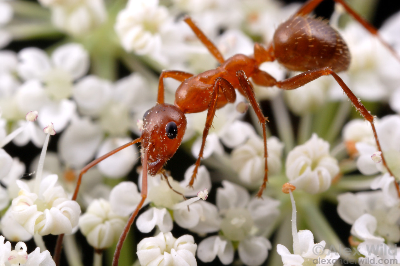 Formica incerta. Ants as earthbound creatures are not ideal pollinators, but they can carry pollen over short distances.   Champaign, Illinois, USA