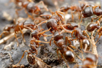 As neighboring Tetramorium pavement ant colonies grow into each others' territories, they test their strength in extended battles.  Champaign, Illinois, USA