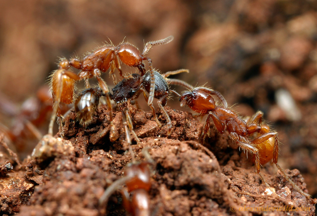 Neivamyrmex californicus army ants are specialist predators of the brood of other ant species. Here worker army ants attack a defending Tetramorium worker as others plunder the Tetramorium brood.   California, USA
