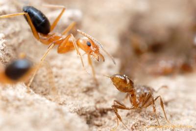 Forelius nigriventris attacking a fire ant worker (Solenopsis invicta).   Santiago del Estero, Argentina