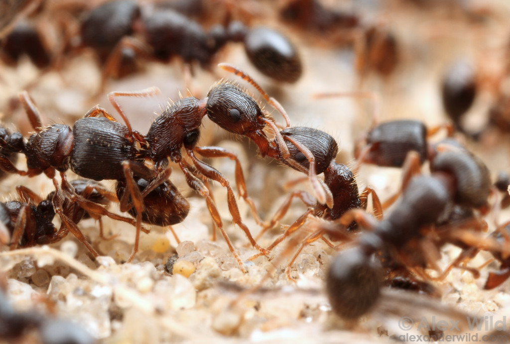 Tetramorium pavement ants fight to determine the territorial boundary between two colonies. These fights are a regular feature of the biology of this species, often conspicuously staged on sidewalks and other places where this species occurs.  Clinton Lake State Recreation Area, Illinois, USA