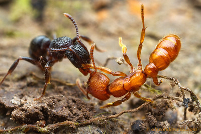 The worst enemies of ants are often other ants. Here, a Rhytidoponera victoriae scout (at left) has discovered a Stigmatomma ferruginea worker and attempts to wrestle it back to her nest. If successful, she will kill the Stigmatomma and feed her to the larvae. Stigmatomma is too specialized as an underground predator to be good at general fighting, so is at a disadvantage here.  Diamond Creek, Victoria, Australia