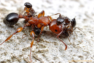 Brute force versus chemical weaponry: the heavily armored Podomyrma gratiosa dispatches small Crematogaster with her powerful mandibles, but the smaller ants use strong defensive chemicals in return, coating their adversary with a thick acrid foam exuded from their abdomens.  Naracoorte, South Australia