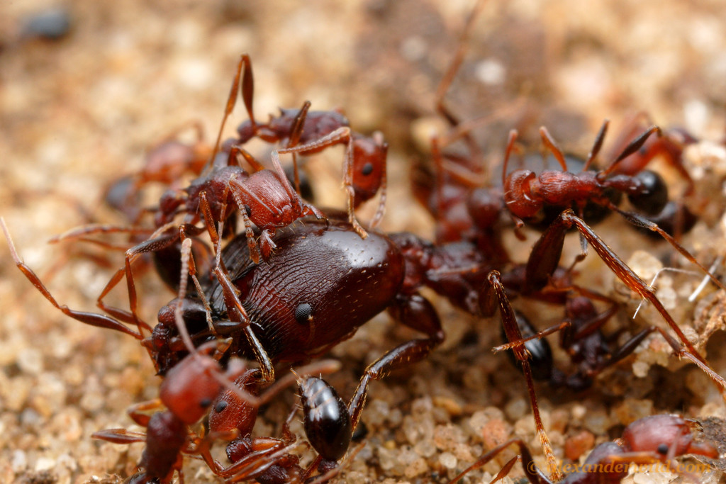 In ant battles, large size is not as advantageous as large numbers.  This Pheidole soldier ant proved no match for the hordes of Tetramorium sericeiventre that zealously defend their territory against any incursion.  St. Lucia, KZN, South Africa