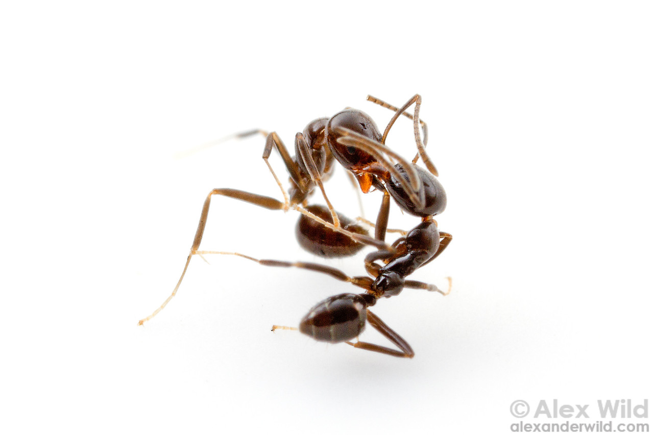 Linepithema iniquum from different nests, fighting. Myrmecologists can sometimes measure the territory of an an colony by testing the aggression of ants collected at different distances.  Morretes, Paraná, Brazil