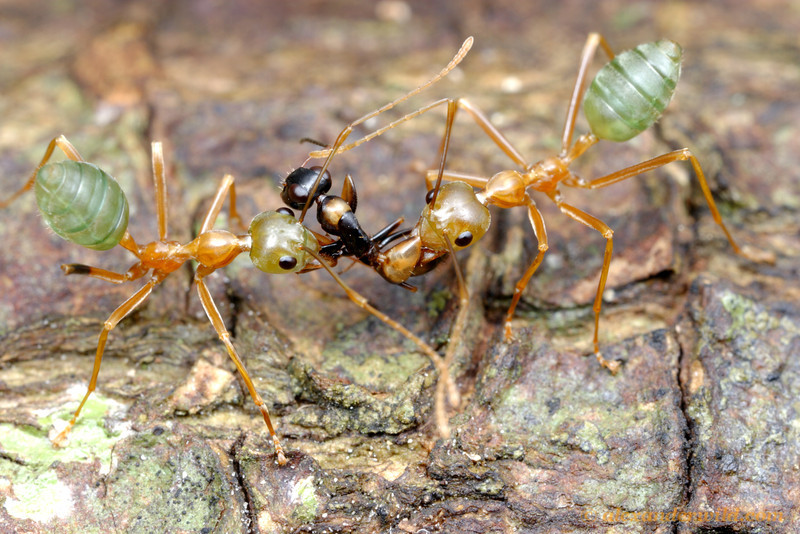 An unfortunate Opsithopsis respiciens strobe ant has been discovered in the treetop territory of Oecophylla smaragdina weaver ants and is summarily executed.  Cape Tribulation, Queensland, Australia