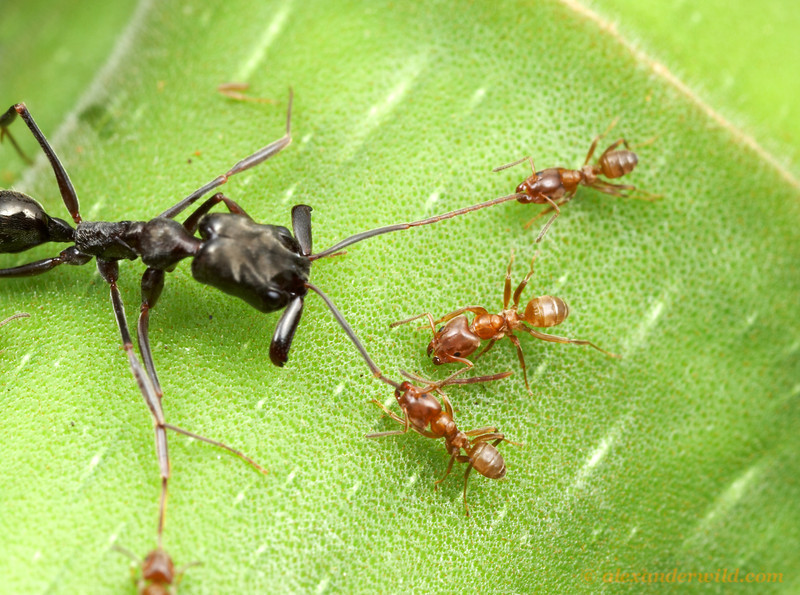 Azteca alfari Cecropia ants guard their tree zealously against intruders. Working together, they surround and immobilize their opponents such as this trap-jaw ant by pinning down their appendages.   Gamboa, Panama