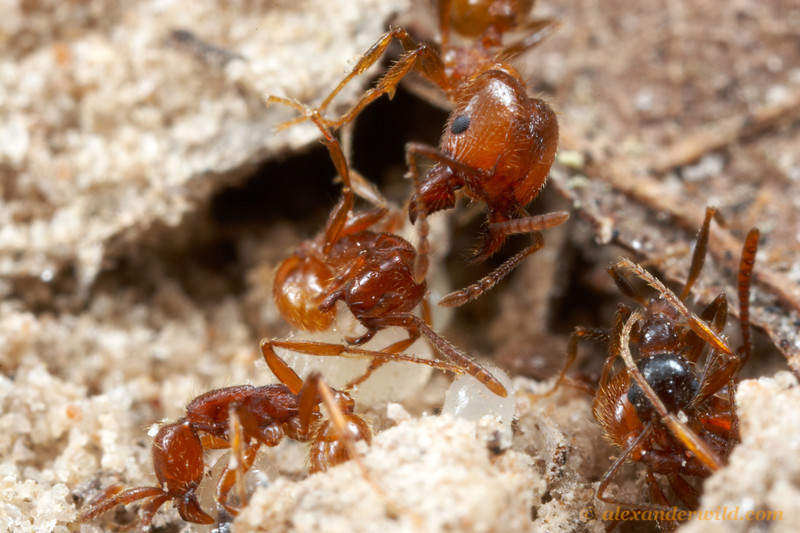 The brood of Pheidole are favored prey for many army ants. Pheidole are not without their defenses against army ant raids, however.  Major workers with their powerful jaws are specialized for nest defense, and here a defending major (top right) attacks Neivamyrmex army ants (bottom left) as they attempt to make off with larvae.  Smithville, Texas, USA