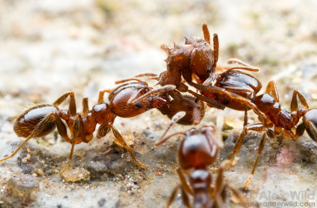 Fighting ensues when both Acromyrmex disciger leafcutting ants and Pheidole vafra big-headed ants arrive at a cookie bait. Although the Pheidole won this particular fight, the larger battle went to the leafcutters, and within 20 minutes of taking this photo the Pheidole had vanished.  Morretes, Paraná, Brazil