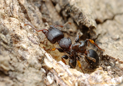 Two arboreal ants, a large Podomyrma inermis tree ant and a small Crematogaster acrobat ant, engage in a territorial skirmish.  Adelaide, South Australia
